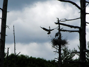 A mating pair of great blue herons flying into their nest.