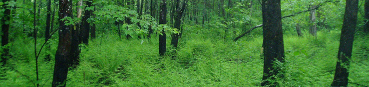 Lush green as far as the eye can see through the thick ferns and trunks of silver maples.